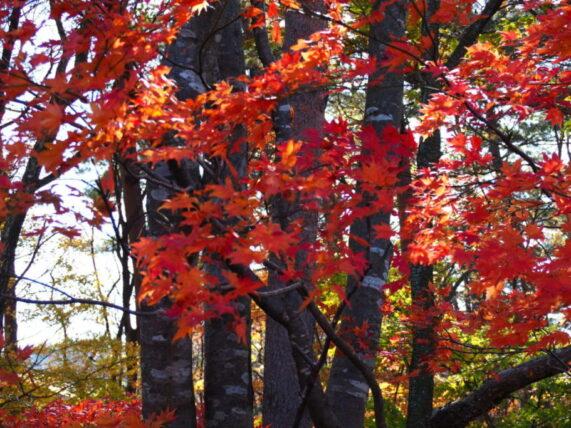 鳴子峡-紅葉